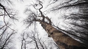 В Воронежской нагорной дубраве засохла 300-летняя сосна