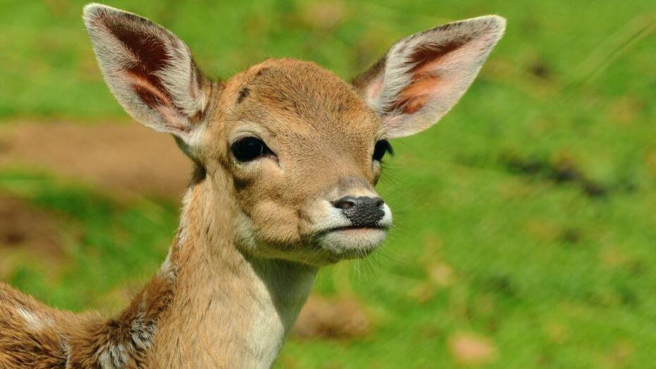 Косуля-сирота из воронежского зоопарка обзавелась опекунами