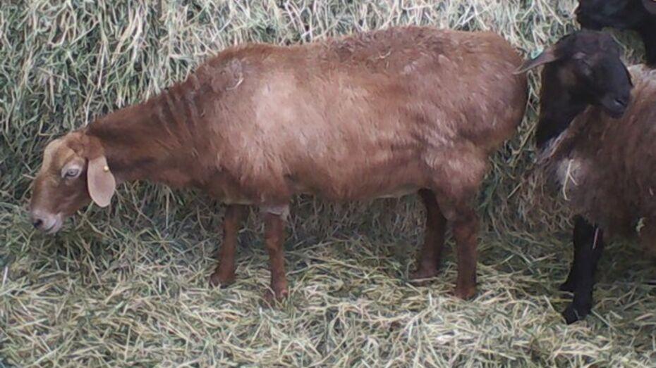 В Богучарском районе бывший пастух украл и перепродал 8 овец