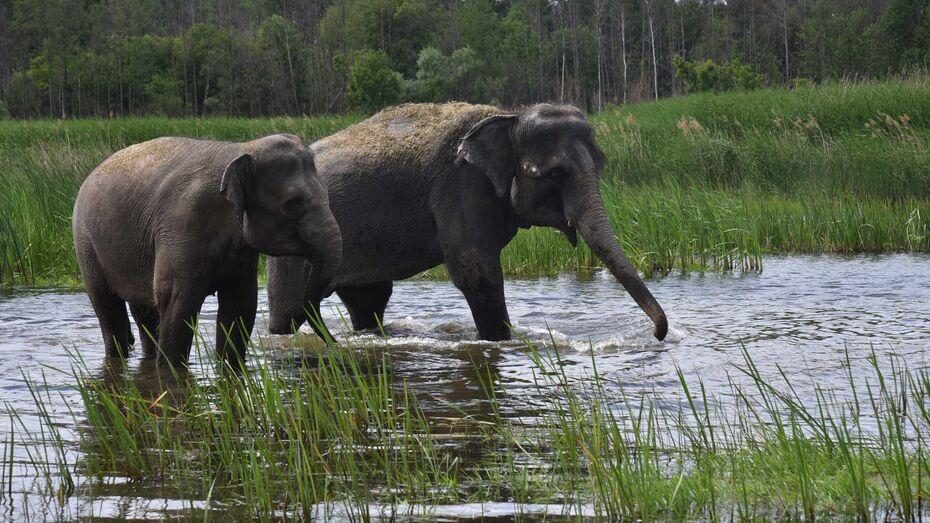 Два азиатских слона искупались в реке Усманка под Воронежем