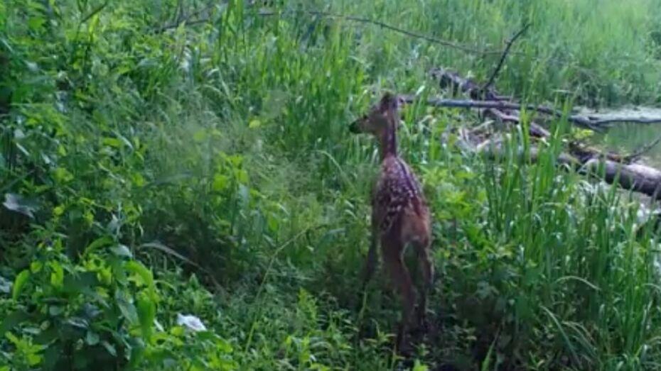 Воронежский заповедник опубликовал видео с детенышами оленей и лосей