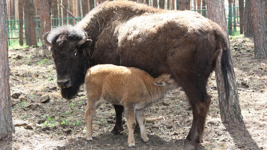 В семье воронежских бизонов случилось пополнение