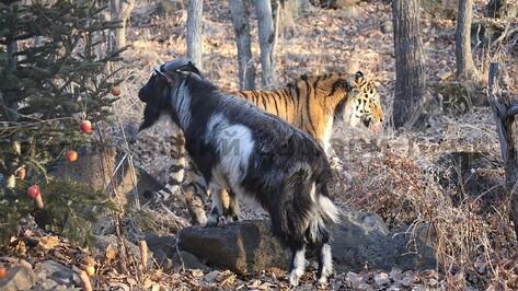 Тигр Амур и козел Тимур стали товарным знаком