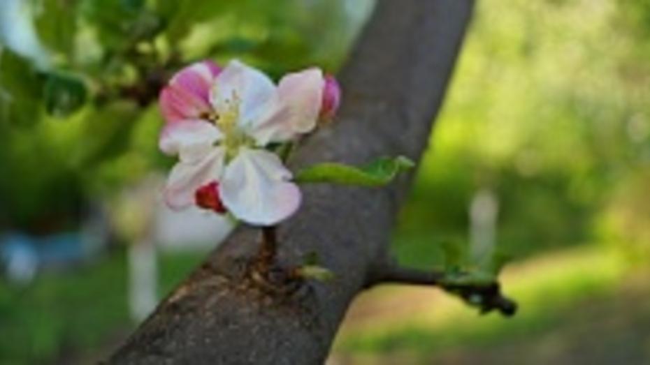 Растением-символом Воронежской области станет яблоня,  дуб или сирень