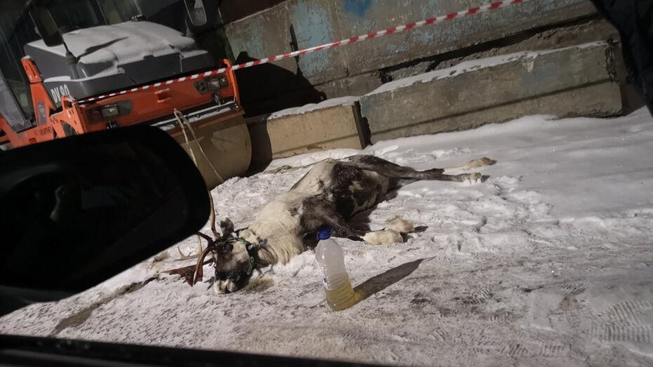 Воронежцы сообщили о смерти оленя, принадлежавшего шоу «Форт Боярд»