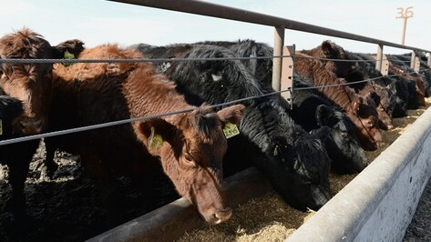 Воронежская область стала одной из лучших в развитии животноводства