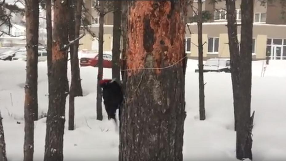 В Воронеже сняли на видео редкого черного дятла