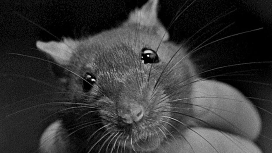 Кантемировские аграрии ополчились на мышей