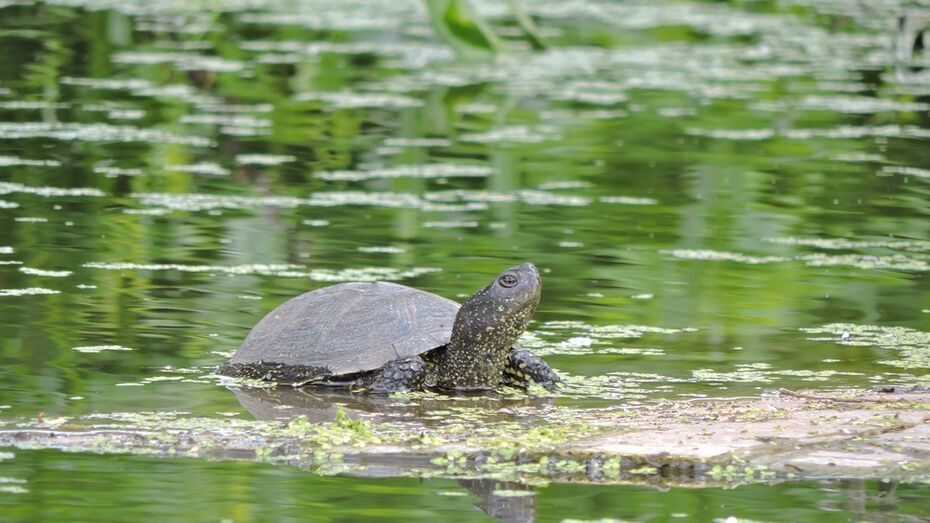В Борисоглебске на улице поселилось семейство болотных черепах