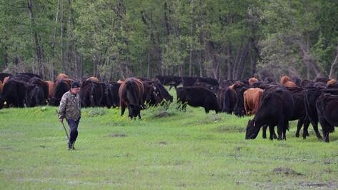 Роспотребнадзор проверил информацию об очередном падеже скота в Воронежской области