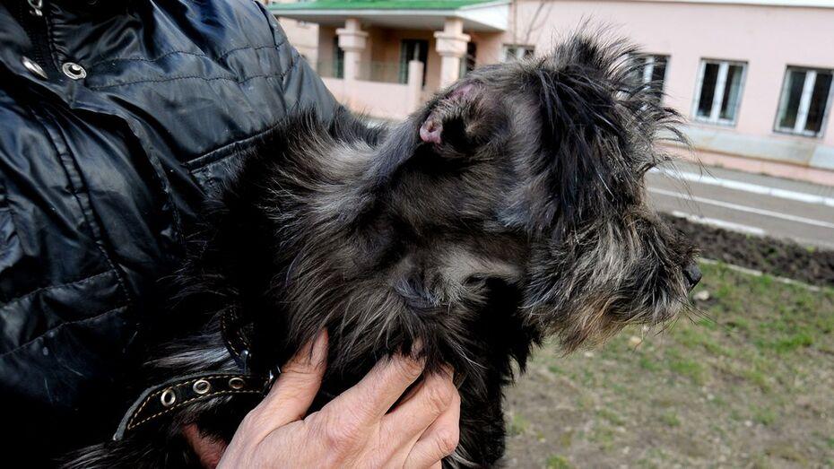 Спасенную воронежцами собаку Малышку выписали из ветклиники