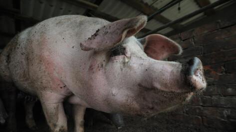 Африканскую чуму свиней в Воронежской области выявили у 11 животных