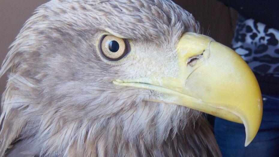 Воронежским зоозащитникам привезли раненого орлана-белохвоста из Астрахани