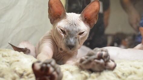 В Воронеж на выставку кошек приехали заводчики из 10 регионов