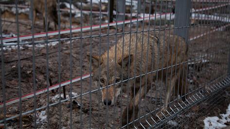 В Воронежском заповеднике поселились волки из Краснодара