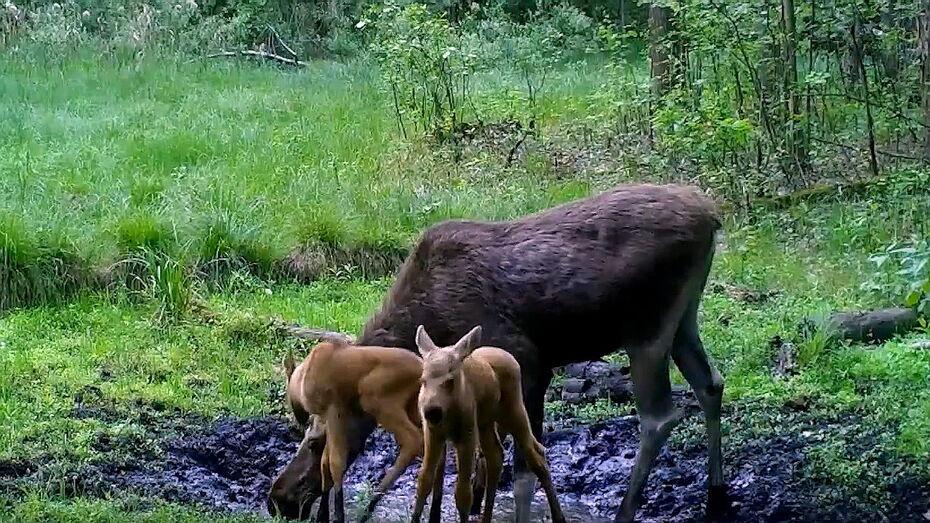 Воронежский заповедник показал кабанов и лосей с малышами у водопоя