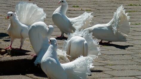 Бесплатная выставка голубей пройдет в Воронеже 27 ноября