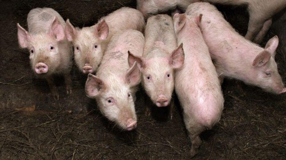 В Воронежской области будут активно развивать свиноводство