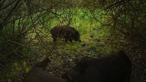 Россельхознадзор: необходимо сократить до минимума численность диких кабанов в Воронежской области
