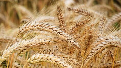 Аграрии Воронежской области собрали 3 млн тонн зерна