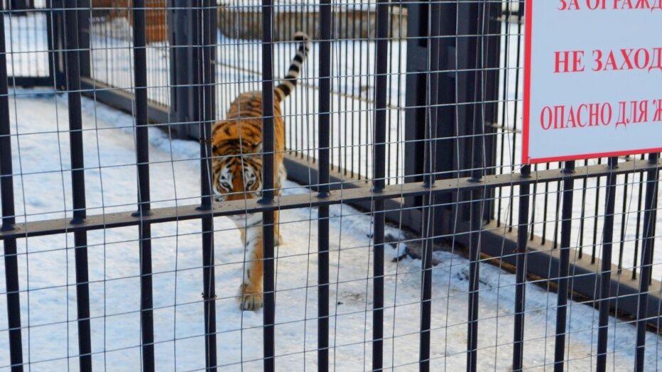 Пойманный в Воронеже тигр Шерхан отказался от еды
