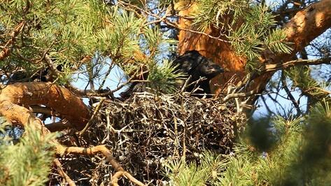 В Воронежском заповеднике сфотографировали птенцов воронов