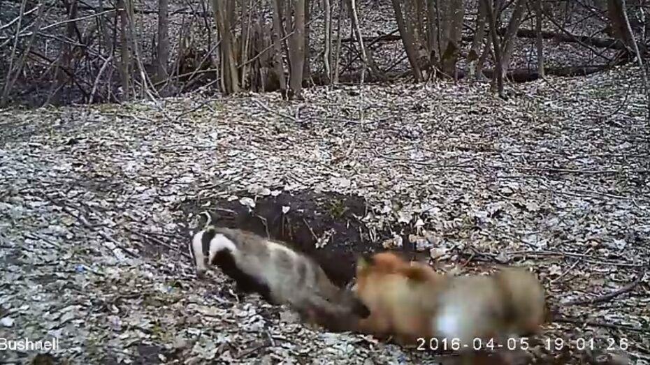 Драка лисы и барсука в Воронежском заповеднике попала на видео