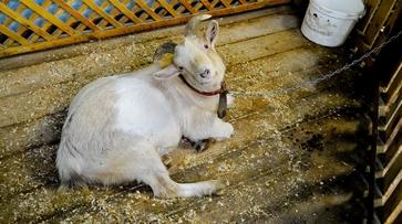 В Воронежской области бывшие зеки зарезали козла односельчанина