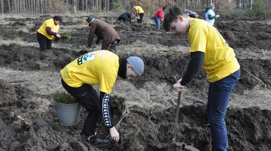 В Репьевском районе высадили 2 тыс сеянцев сосны обыкновенной