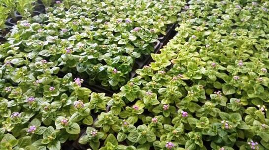 На центральных клумбах Павловска высадят 26 тыс цветов