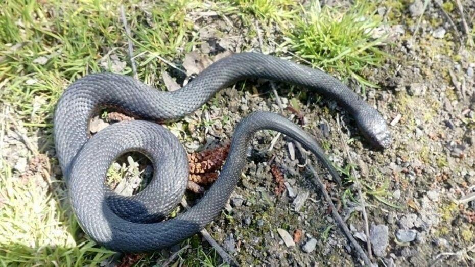 В Воронежской области змея укусила собиравшую землянику женщину