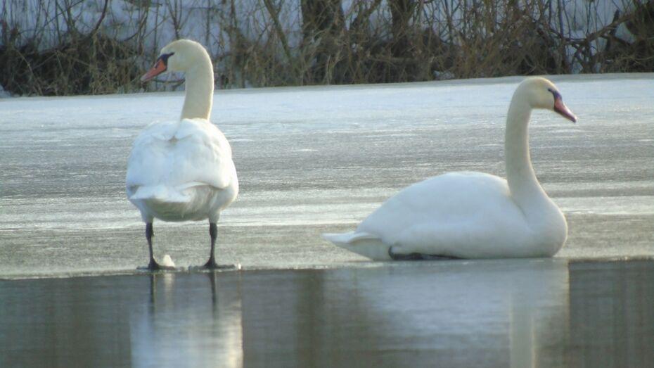В Павловск 8 марта прилетели лебеди