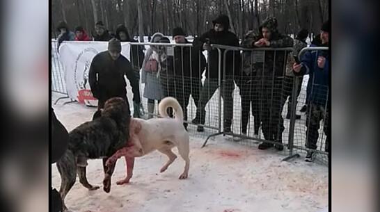 Соцсети: собачьи бои прошли под Воронежем