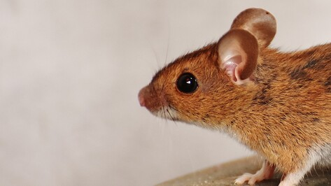 В воронежском заповеднике поймали самую большую за последние 40 лет мышь