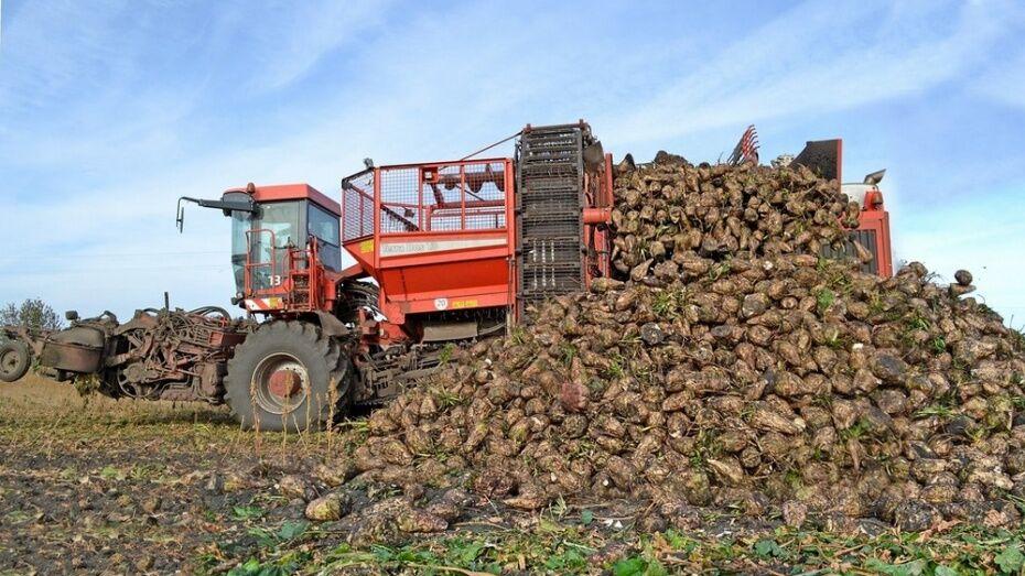 В Таловском районе впервые за 90 лет собрали рекордный урожай свеклы