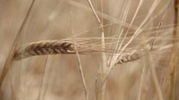 Богучарские хлеборобы нацелились на урожай в 150 тыс. тонн зерна