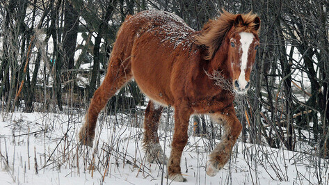 Умер пострадавший от удара лошади работник воронежского племзавода