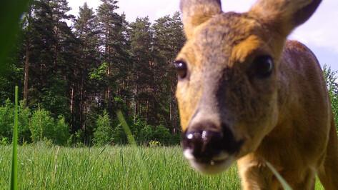 Любопытная косуля попала в фотоловушку в Воронежском заповеднике