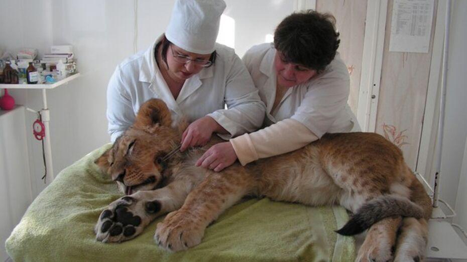 Бутурлиновские ветврачи прооперировали львенка