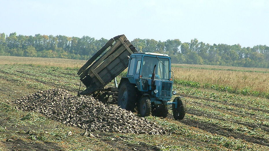 В Воронежской области уже собрали 2,2 млн т сахарной свеклы