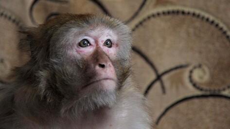 Макака Чичи из воронежской глубинки в третий раз встретит год обезьяны
