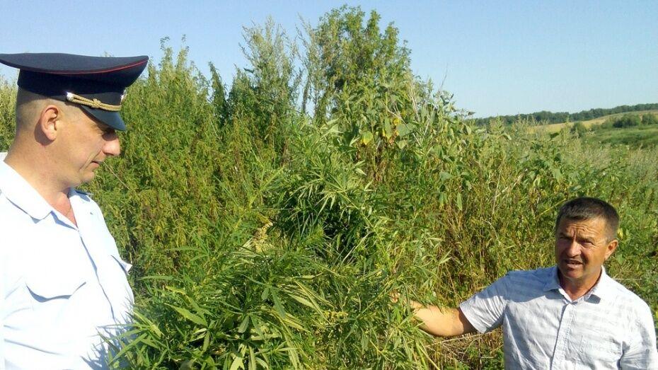 В Аннинском районе уничтожили 20 т конопли