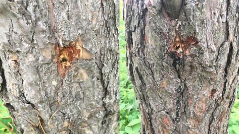 Губернатор поручил следить за состоянием поврежденных деревьев в Северном лесу Воронежа