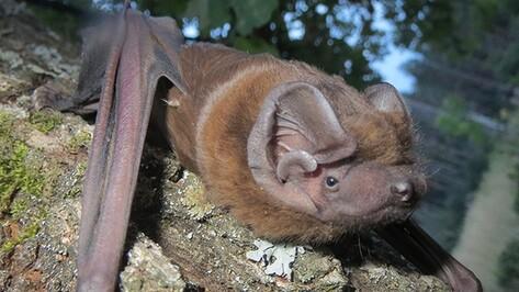 В воронежском заповеднике нашли редчайшую летучую мышь