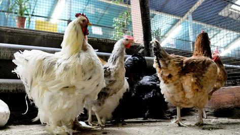 Из-за вспышки гриппа на фабрике в Воронежской области уничтожат более 1,2 млн птиц