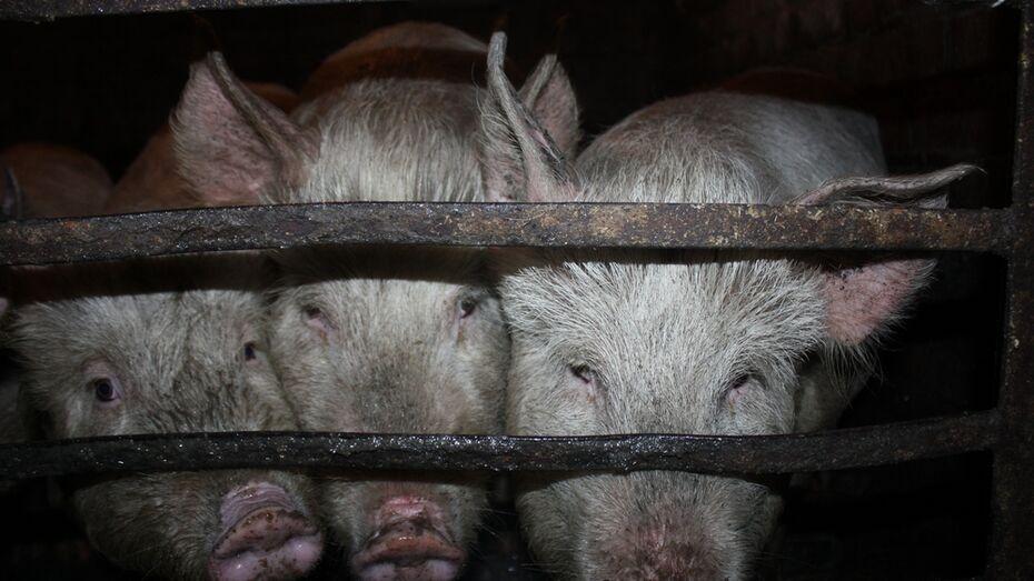 В Воронежской области нашли очаг африканской чумы свиней