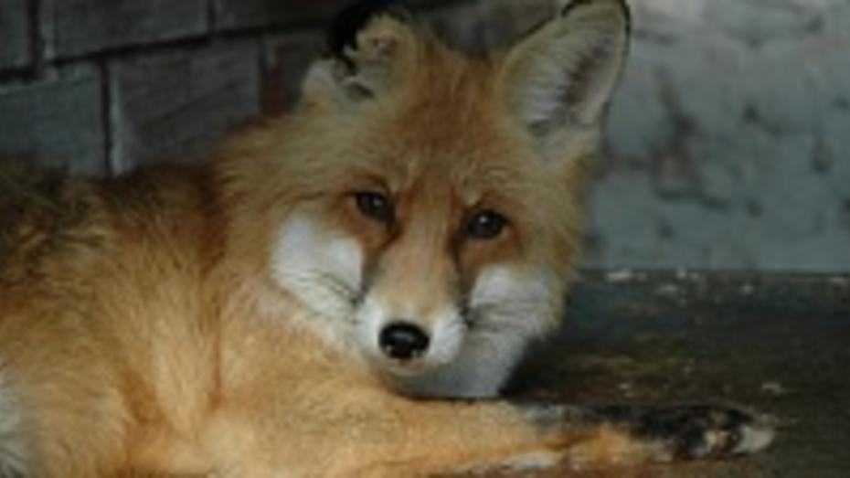 В Воронежской области число бешеных животных за год сократилось вчетверо
