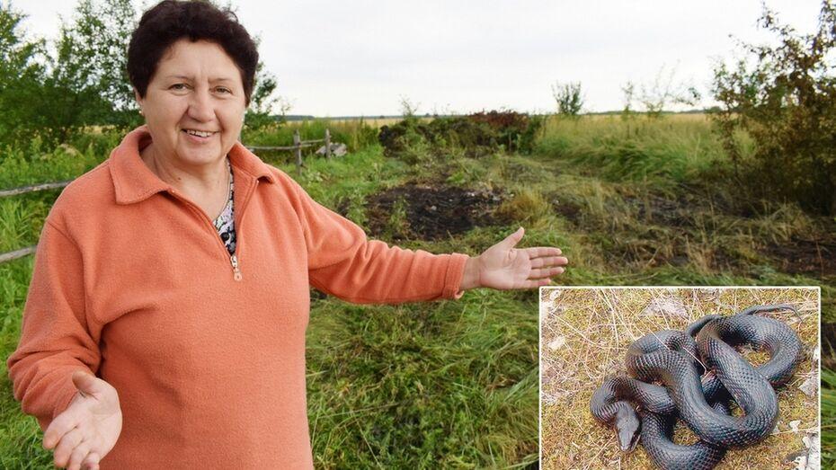 В Грибановке жители обнаружили гнездо гадюки рядом с домом