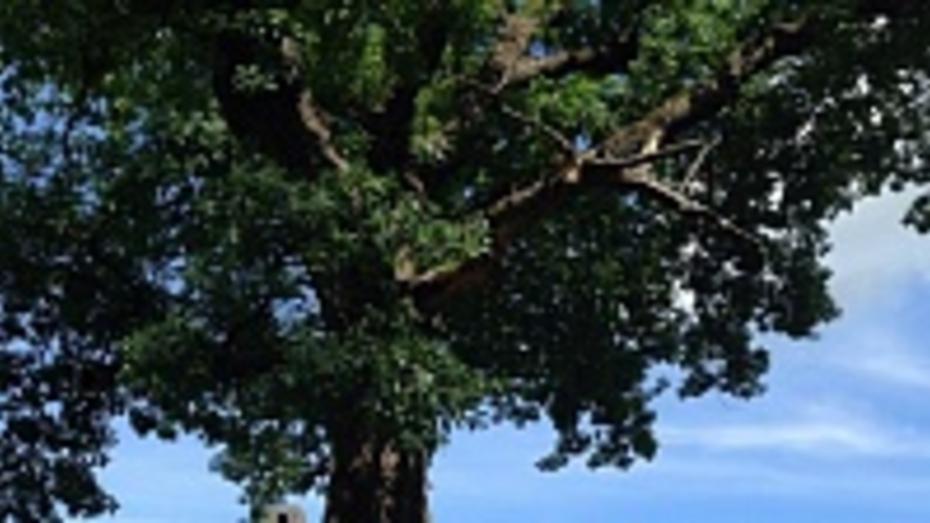Дуб обогнал яблоню в борьбе за звание зеленого символа Воронежской области