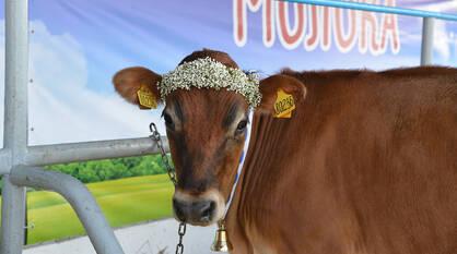Воронежстат: в регионе увеличили производство мяса и молока